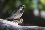 Huismus GALLERY - House Sparrow