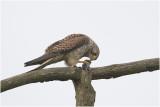 Torenvalk - Falco tinnunculus 6/2