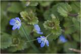 GALLERY BLOEMEN KLEURGROEP BLAUW – flowers blue – Plantes à fleurs bleues / violettes.