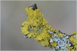 groot Dooiermos - Xanthoria parietina
