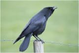 zwarte Kraai - Corvus corone 15/3