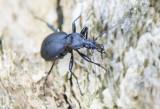 Loopkevers  -  Carabidae