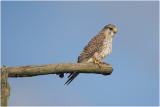 Torenvalk - Falco tinnunculus