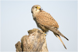 GALERIJ  Project Torenvalk Common Kestrel  - Falco tinnunculus