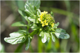 GALLERY WILDE BLOEMEN KLEURGROEP GEEL –  wild flowers yellow – Plantes sauvages à fleurs jaunes.