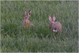 GALLERY Hazen en konijnen - Hares and Rabbits