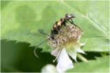 gevlekte Smalbok - Leptura quadrifasciata