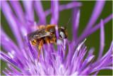 GALLERY Bijen - bees - abeilles
