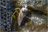 Wantsen - Hemiptera - Pentatomorphes - Bugs