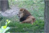 Leeuw - Panthera leo - Lion