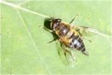 GALLERY ZWEEFVLIEGEN - SYRPHIDAE - hover flies - les éristales