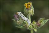 Wespen -  orde Hymenoptera
