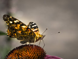 Papillon belle dame_Painted lady butterfly