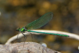 dragonflies_and_damselflies_