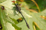 dragonflies_and_damselflies_