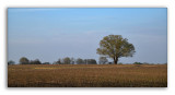 Tree in Cotton Field