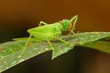 Grasshopper Sumaco