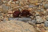 Big-Ant Yankuam