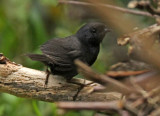 Blackish Tapaculo