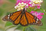 Monarch,-Zamora.jpg