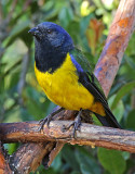 Mountain-Tanagers