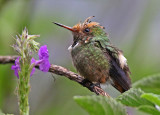 Hummingbirds-Woodstars and Thorntails