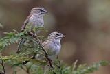 Tumbes Sparrow