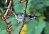 White-winged Brushfinch