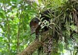 Central American Coati