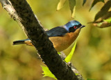 Fawn-breasted Tanager