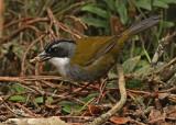 Gray-browed Brushfinch