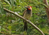 Black-necked Woodpecker