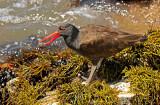 Blackish Oystercatcher