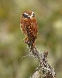 Yungas Pygmy-Owl