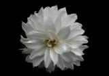 Same white dahlia, different view