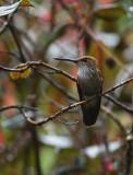 BJR6038 Manizales Hummingbird.jpg