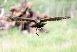 harris hawk cruising