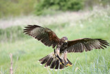 harris hawk pouncing