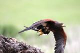 harris hawk take off