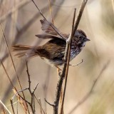 SparrowBarnabySlough033017.jpg