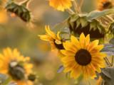 SunflowersBlueHeronFrm090417.jpg