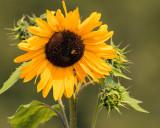SunflowersBlueHeronFrm2_090417.jpg