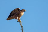 Sharp_ShinnedHawk102717.jpg