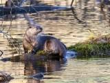 OtterBarnabySlough2_111017.jpg