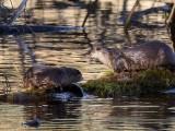 OtterBarnabySlough3_111017.jpg