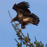 EagleJuvinileEdisonWa2_011518.jpg