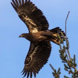 EagleJuvinileEdisonWa4_011518.jpg