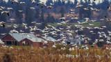 SnowGeese040218.jpg