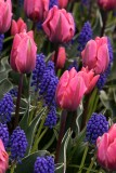 Tulips2_042018.jpg