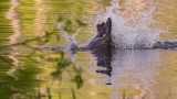 BeaverSlapBarnabySlough2_050418.jpg